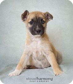 Phoenix, AZ - Australian Kelpie/Shepherd (Unknown Type) Mix. Meet Wilbur, a puppy for adoption. http://www.adoptapet.com/pet/12667879-phoenix-arizona-australian-kelpie-mix