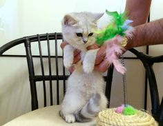Perfect british cats: Британские котята драгоценных окрасов