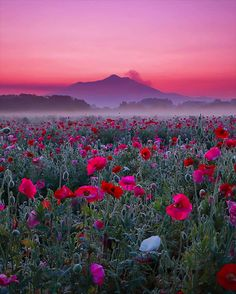 Purple Mountain Majesty (w poppies in the foreground) @koji3534