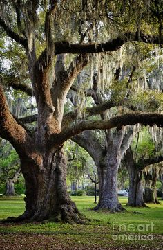 Southern Oaks... does anything compare? How I love to sit under their branches and think of the of the sights they have seen