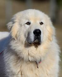 Bosley is an adopted Great Pyrenees Dog in Dacula, GA. Bosley is  3 1/2  year old Great Pyrenees male who has been in his current home since 6 months old.  Bosley is good with other large dogs that ar...