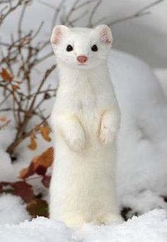 """This article will answer common questions regarding the weasel's unique diet such as """"what do weasels eat?"""" or """"can I have a weasel as a pet? Cute Funny Animals, Cute Baby Animals, Animals And Pets, Beautiful Creatures, Animals Beautiful, Rare Albino Animals, Cute Ferrets, Cute Animal Pictures, Exotic Pets"""