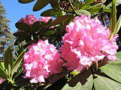 Rhododendron Park, Helsinki, Finland, Plants, Jewelry, Jewellery Making, Jewelery, Jewlery, Jewels