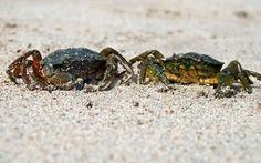 Blue crab have become increasingly difficult to catch in the wild, and some enthusiasts and scientists are experimenting with raising blue crabs in tanks and ponds