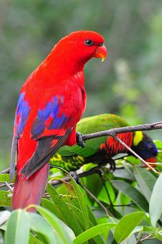 Lories by j-imaging, via Flickr Pretty Birds, Beautiful Butterflies, Beautiful Birds, Animals Beautiful, Colorful Parrots, Colorful Birds, Bunting Bird, Animals And Pets, Cute Animals
