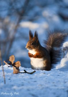 Red Squirrel3 by PictureByPali
