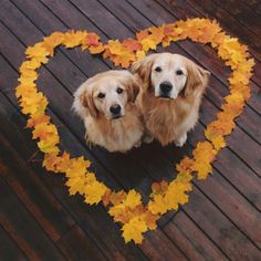 Cute Overload: Internet`s best cute dogs and cute cats are here. Aww pics and adorable animals. Dog Photos, Dog Pictures, Animal Pictures, Cute Pictures, Cute Baby Animals, Animals And Pets, Funny Animals, Chien Golden Retriever, Golden Retrievers