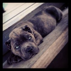 Cane Corso- Italian Mastiff I love these dogs! And that famous look they give :) Big Dogs, I Love Dogs, Cute Dogs, Dogs And Puppies, Mastiff Breeds, Dog Breeds, Animals And Pets, Cute Animals, Funny Animals