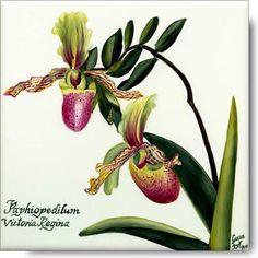 Paphiopedilum Victoria Regina