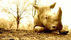 Rhino ...HELP THEM!! www.roryjohnstone.com