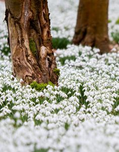 Snowdrop wood at Welford Park, Berkshire, England by baldychops Rare Flowers, Wild Flowers, Beautiful Flowers, Forever Green, Lily Of The Valley, Daffodils, Tulips, Life Is Beautiful, Spring Time