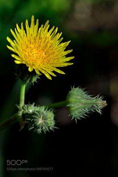 Dandelion by lopezlago