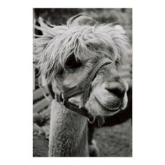 >>>The best place          Lovely Llama Print           Lovely Llama Print Yes I can say you are on right site we just collected best shopping store that haveReview          Lovely Llama Print Review on the This website by click the button below...Cleck Hot Deals >>> http://www.zazzle.com/lovely_llama_print-228530458203539793?rf=238627982471231924&zbar=1&tc=terrest