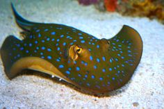 Venomous blue spotted stingray - WOW! Blue spots and yellow eyes