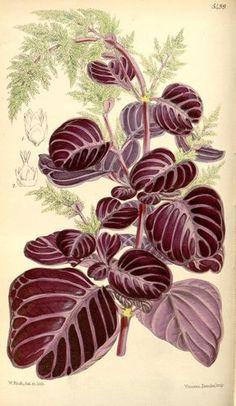 Iresine herbstii. Curtis's botanical magazine. v.91 [ser.3:v.21] (1865).  London ;New York [etc.] :Academic Press [etc.]  Biodiversitylibrary. Biodivlibrary. BHL. Biodiversity Heritage Library