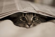 the New York Times crossword makes me so crazy...anyone know the Latin word for expectant feline?