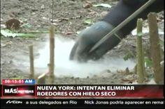Intentan elminar a las ratas con hielo seco en Nueva York