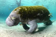 Manatees of Florida! Warm peaceful giants :) via Pierre-Yves Cousteau's Twitter feed @PYCousteau