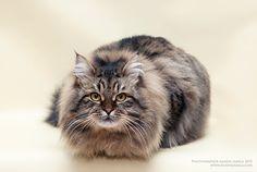 Siberian cat2 by Jamilaaa.deviantart.com