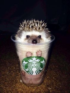 www.Pintrest.com/PetCute | Exotic House Pets | Pet Care Authority | Pet Care | Adorable Animals | Cute Hedgehogs | Starbucks Cups | Starbucks | Animals doing weird things
