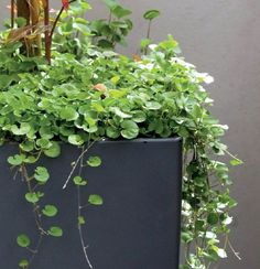 Dichondra. Versatile and attractive trailing ground cover makes a great lawn substitute and rockery filler. An Australian native suitable for sun or shade, requires low maintenance and tolerates foot traffic. Each plant can spread over a square metre.