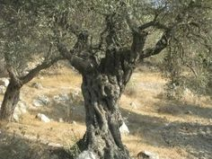 Ancient Olive Tree - Israel
