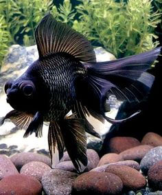 Black Moor Goldfish, always my Mom's favorite.