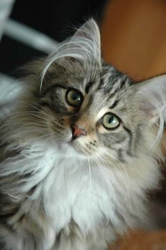 Norwegian Forest Cat-another large sized breed