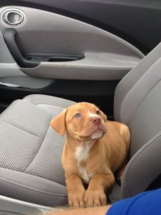 Red Nose Pitbull/ Lab mix (Harper)-First day home with dad! Red Nose Pitbull/ Lab mix (Harper) First day home with dad! Cute Baby Dogs, Cute Dogs And Puppies, Doggies, Adorable Dogs, Cute Little Animals, Cute Funny Animals, Cute Animal Pictures, Cute Creatures, Animals And Pets
