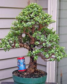 Portulacaria Afra 'Bonsai' - Cacti and Succulents Forum - Gardenweb Jade Plant Bonsai, Succulent Bonsai, Jade Plants, Succulent Gardening, Bonsai Plants, Bonsai Garden, Cacti And Succulents, Planting Succulents, Juniper Bonsai