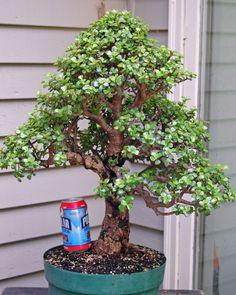 Portulacaria afra 'bonsai' - Cacti & Succulents Forum - GardenWeb