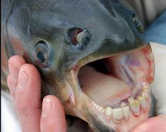 Weird animals: The Pacu Fish Yes, that really is a fish with human teeth that seems in bad need of some flossing. Pacu fish are cousins to the Piranha but are mostly fruit eaters that use their human-like teeth to crack nuts and fruits,from Iryna Bizarre Animals, Unusual Animals, Rare Animals, Animals And Pets, Funny Animals, Animals Images, Deep Sea Creatures, Weird Creatures, Pacu Fish