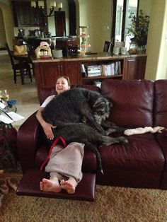 Irish Wolfhounds just don't know when they're not a lap dog any more.