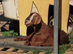 Rikki's Refuge Goats and Sheep #101 www.rikkisrefuge.org Sally!
