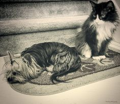 Two Sweet Friends - Tessa my Yorkie and Chance my Tuxedo cat are such good friends.  © KatMagic Photography  © all rights reserved /  © Tous droits reserves