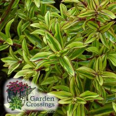 (Hebe) 'Wild Romance' Hebe is a tender shrub best suited for year round color.