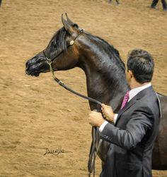 Arabian Horse - Pitonisa AS - Region 7