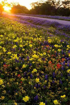 Texas Bluebonbets, Paintbrush & other Wildflowers along side of the highway......