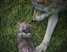 Defensores del lobo han solicitado el amparo de la Comisión Europea para proteger al lobo en Asturias