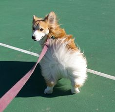 Windy Butt! by astaracheetah, via Flickr #corgi