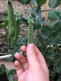 Peas getting fat 2017
