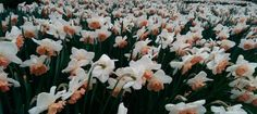 Daffodil Gardens and Events for 2017 - Pumpkin Beth - My site Orange Flowers, White Flowers, Sussex Gardens, Days Out, Daffodils, Spring Time, Places To Visit, Pumpkin, Events