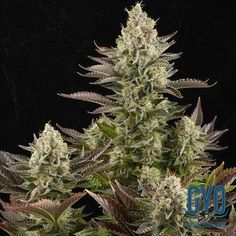 Dinafem White Widow Feminised Weed Seeds: The White Widow is not the most productive or vigorous of growers, yet it has quietly become one of the most popular strains on the planet. Why? Because of the taste, smell and the amazing hit. The three reasons why anybody chooses to toke in the first place. If you hit ten out of ten in these three areas, there is nothing to touch you.