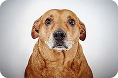 Bailey by Richard Phibbs is a Labrador Retriever/Pit Bull Terrier Mix up for adoption at the Humane Society of New York.