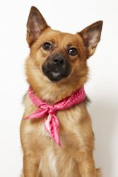 Penny is a Spitz-mix