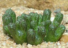 Conophytum luckhoffii #succulent