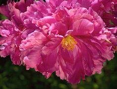 Pink Peony   Flickr – Condivisione di foto!