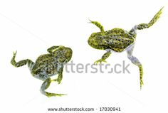 Two green frogs or toads swimming around isolated on white background by Regien Paassen, via Shutterstock