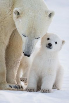 this baby polar bear looks so happy chillin' with mommy
