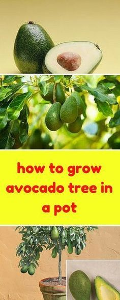 How to Grow an avocado tree in a pot